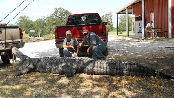Largest Crocodile Ever Killed Dallas lawyer kills 900 lb.